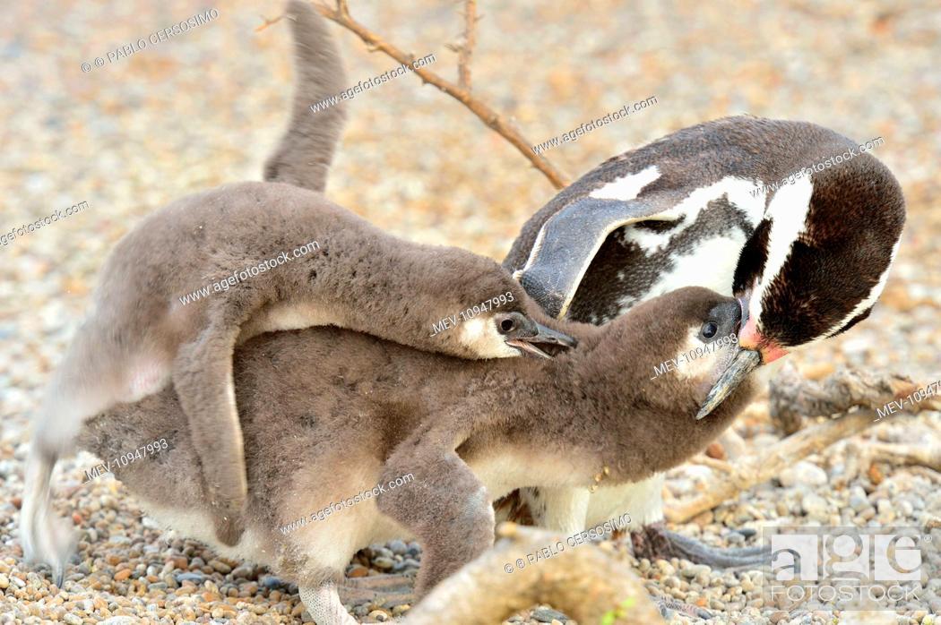 Imagen: Magellanic Penguin - feeding two chicks Peninsula Valdes, Patagonia, Argentina, South America.