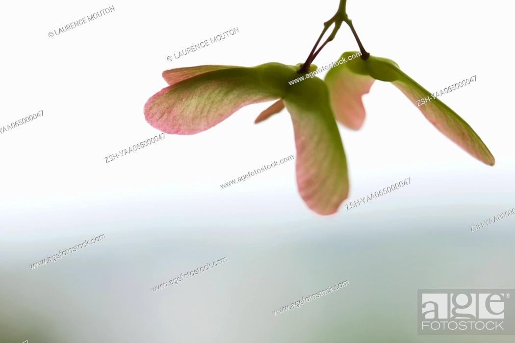 Stock Photo: Seed pods hanging, close-up.