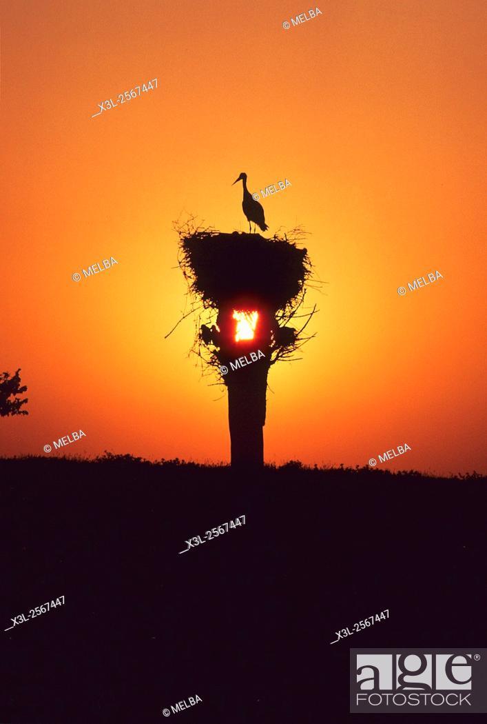 Stock Photo: Ciconia ciconia. Nest of White stork. European bird.