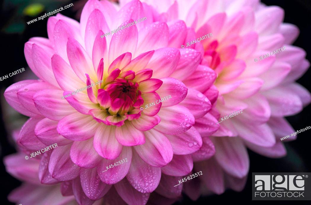 Photo de stock: Dahlias in private garden, Northern California, USA.