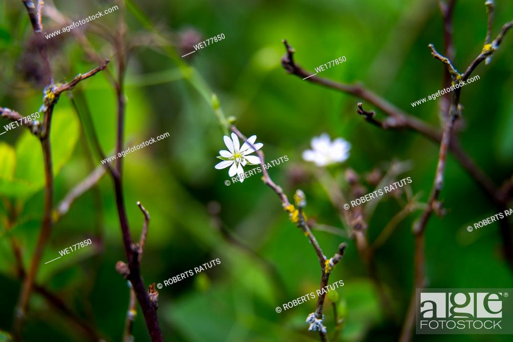 Stock Photo: White wild blooming flowers on a green grass background. Meadow with wild field flowers. Nature flower in spring and summer in meadow. . .