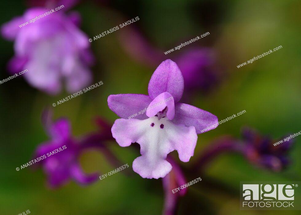 Stock Photo: Four-spotted Orchis - Anacamptis quandripunctata, Crete.