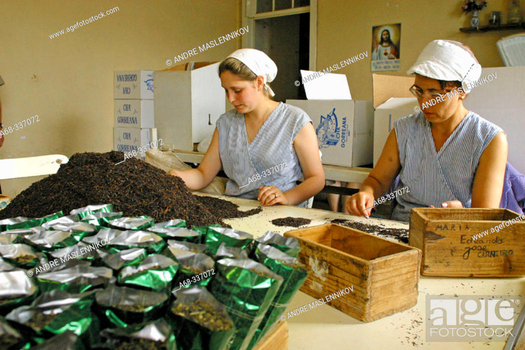 Stock Photo: Tea is sorted by hand at tea factory Cha Gorreana. São Miguel Island. Azores. Portugal.