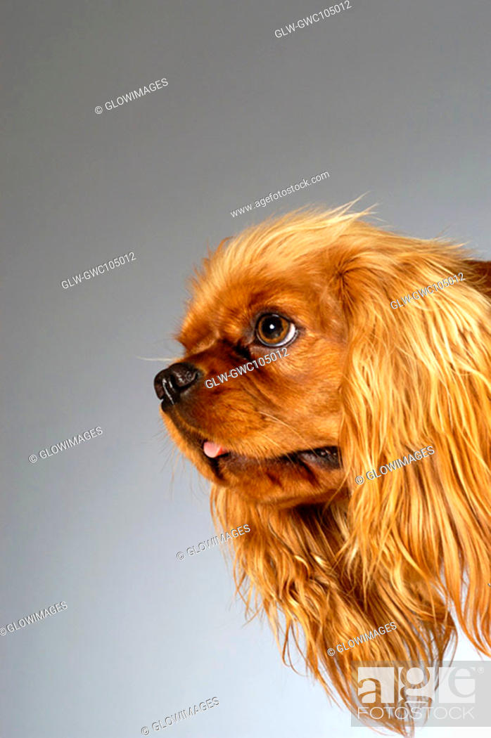 Stock Photo: Side profile of a Cocker Spaniel.