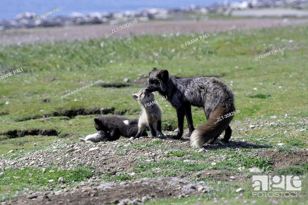 Stock Photo: The cross fox family (Vulpes vulpes).San Juan Island, USA.