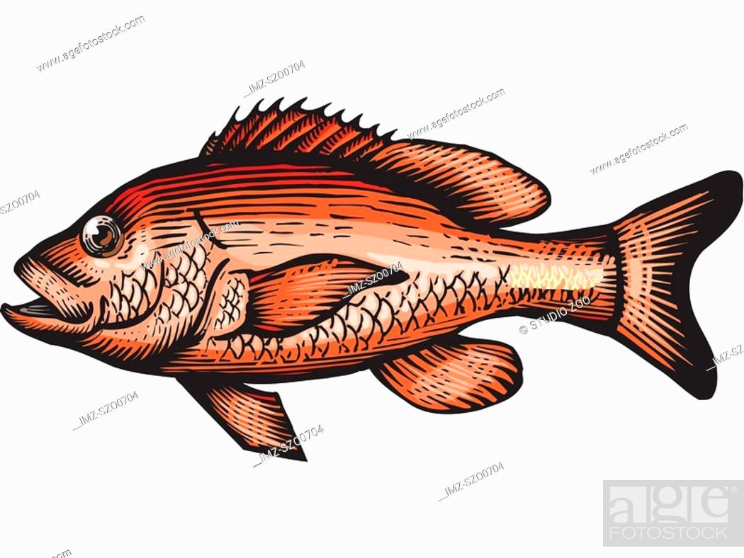 Stock Photo: A drawing of a red snapper.