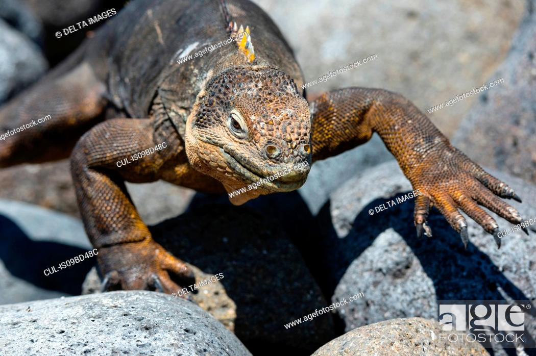 Stock Photo: Land Iguana (Conolophus subcristatus) on rocks, close up, South Plaza Island, Galapagos Islands, Ecuador.