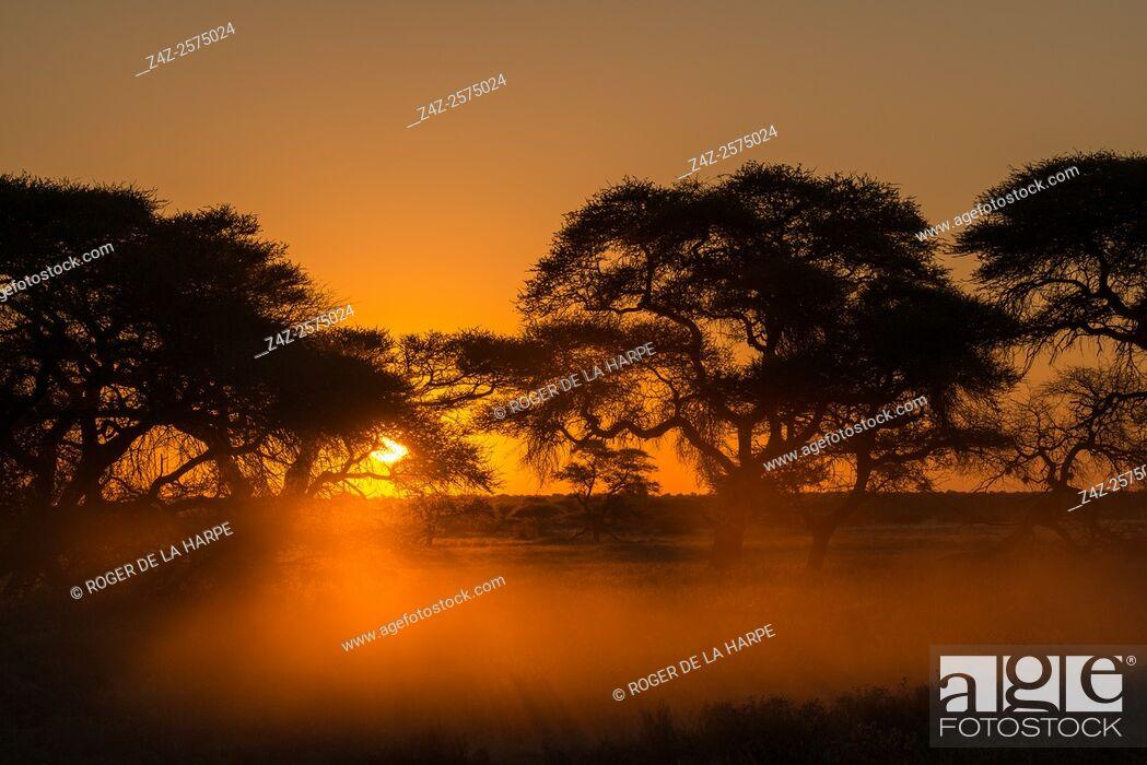 Imagen: Camel thorn or giraffe thorn trees (Vachellia erioloba = Acacia erioloba). Haina Kalahari Lodge. Botswana.