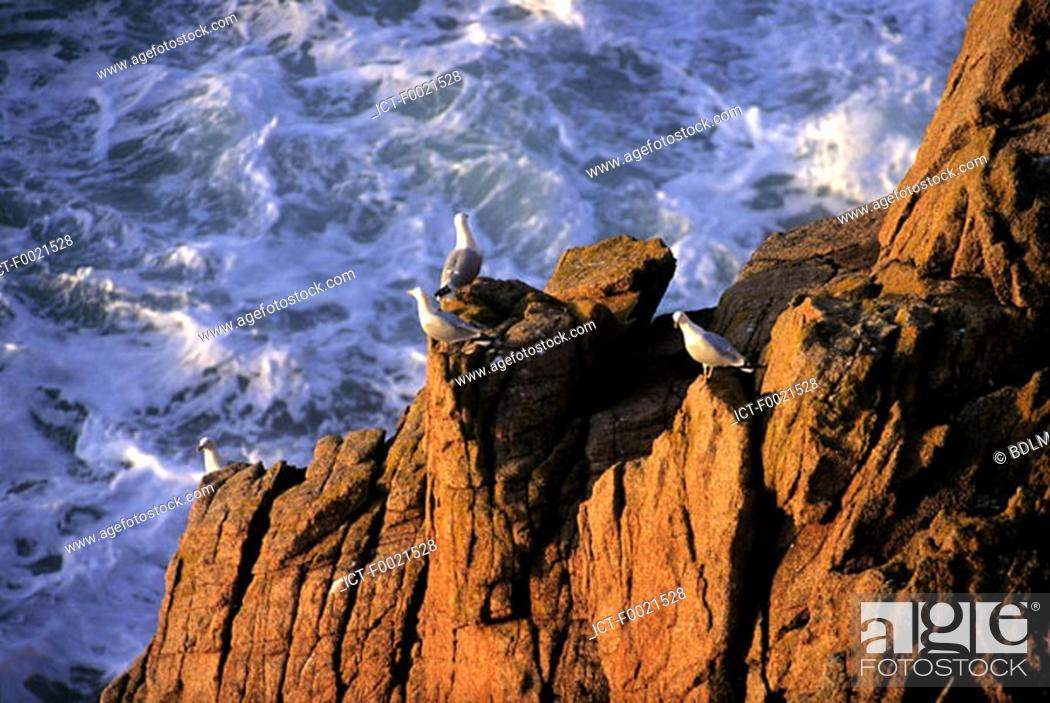Stock Photo: Channel Islands, Jersey, seagulls.