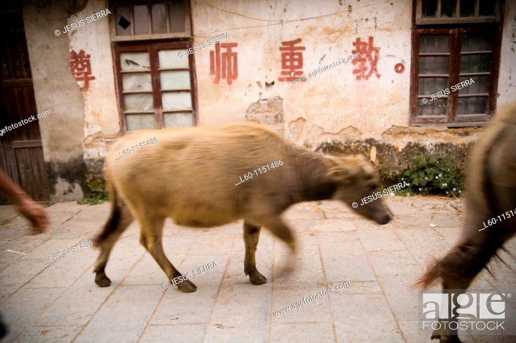 Stock Photo: Ox in Guangxi, China.