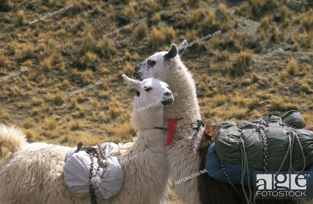 Stock Photo: Llamas Bolivia, South America.