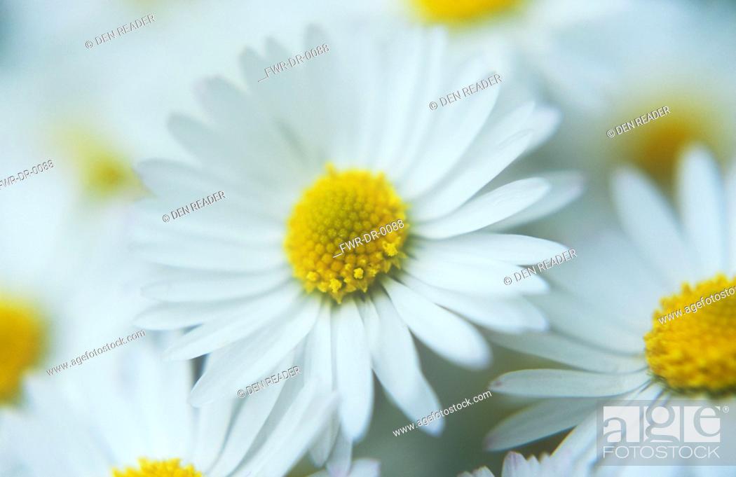 Stock Photo: Daisy, Lawn daisy, Bellis perennis.