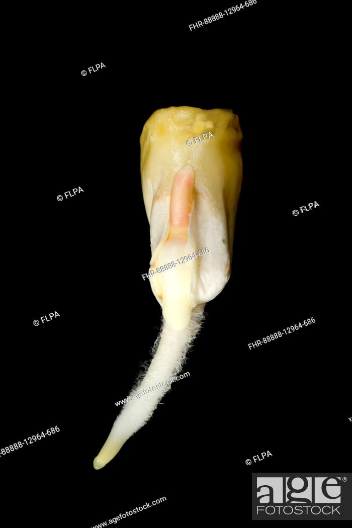 Germinating Maize Or Corn Seed Zea Mays With Radicle Root