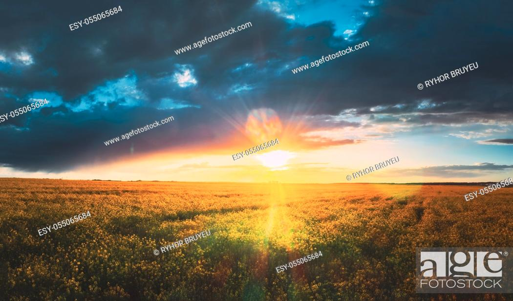 Stock Photo: Sunshine During Sunset Above Rural Landscape With Blooming Canola Colza Flowers. Sun Shining In Dramatic Sky At Sunrise Above Spring Agricultural Rapeseed Field.