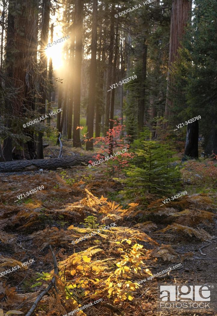 Imagen: Fall in Sequoia National Park CA USA World Location.