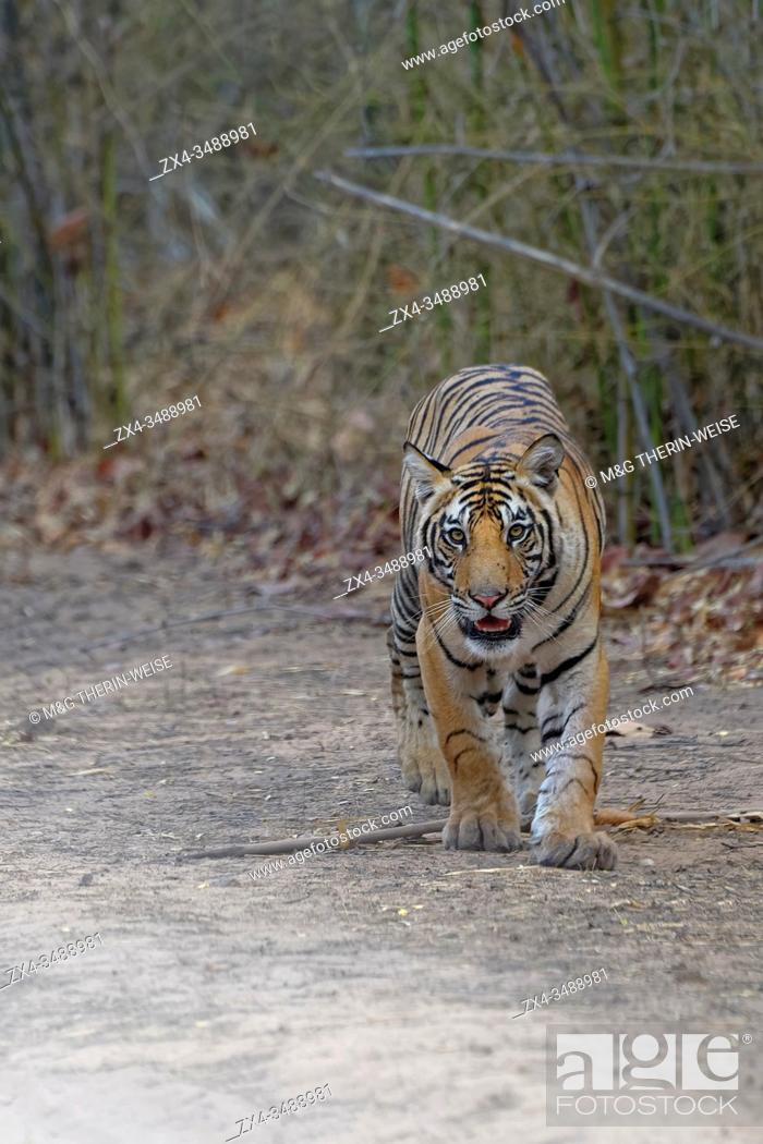 Stock Photo: Young Bengal tiger (Panthera tigris tigris) walking on a forest path, Bandhavgarh National Park, Madhya Pradesh, India.