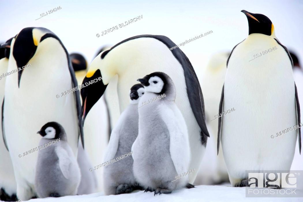 Stock Photo: Emperor Penguin (Aptenodytes forsteri). Adults and chicks on ice. Snow Hill Island, Antarctica.
