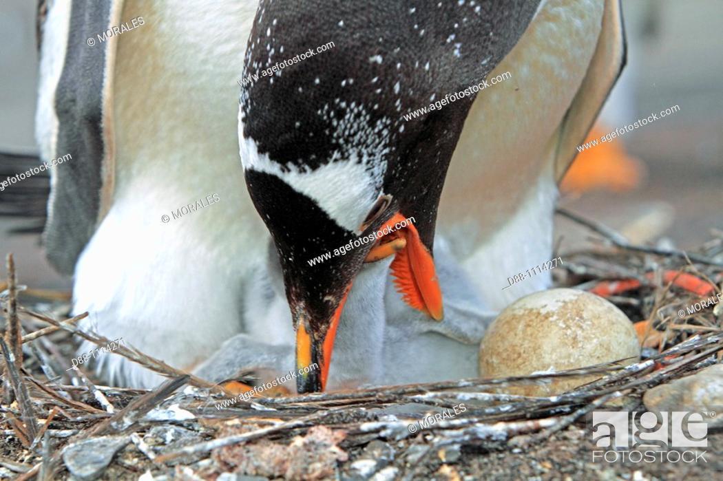 Stock Photo: Gentoo Penguin(Pygoscelis papua papua). Sealion Island, Falkland Islands.
