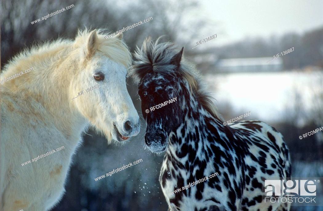 Stock Photo: Connemara and Knabstrup.
