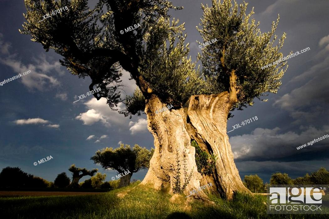Stock Photo: Old olive tree  Spain.
