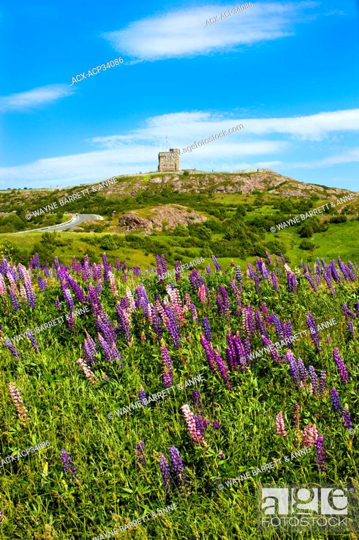 Stock Photo: View of Cabot Tower with lupines Lupinus perennis in foreground, Signal Hill National Historic Site, St. John's, Newfoundland and Labrador, Canada.