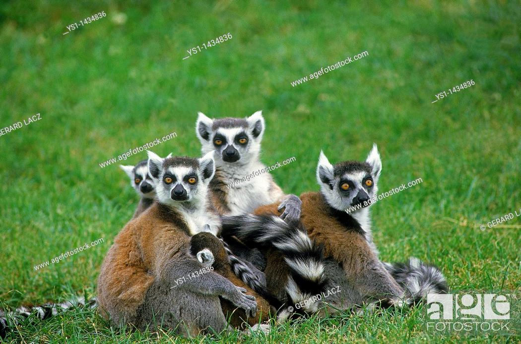 Stock Photo: RING TAILED LEMUR lemur catta, GROUP OF ADULTS STANDING ON GRASS.