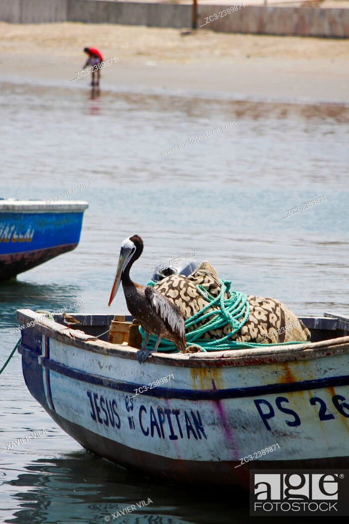 Stock Photo: Pelecanus Thagus, Pelican, Brown Pelican Chili, Peruvian Pelican, in the Paracas National Reserve and the Ballestas Islands.