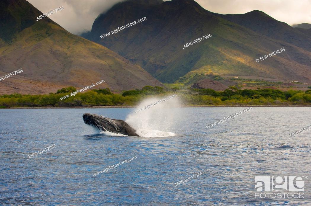 Stock Photo: Humpback Whale (Megaptera novaeangliae) spouting, Maui, Hawaii.