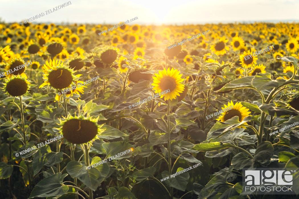 Stock Photo: Evening view on sunflowers field in Rezina District of Moldova.