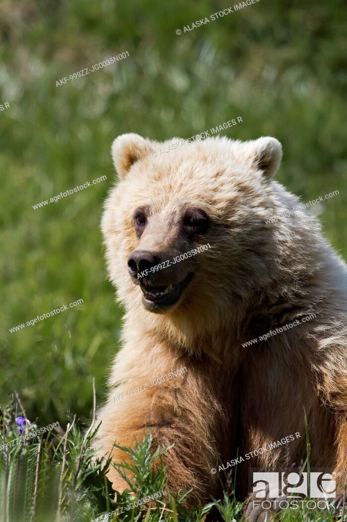 Stock Photo: Sub adult Grizzly Bear with mouth open eats grass in Highway Pass in Denali National Park & Preserve, Interior Alaska, Summer.