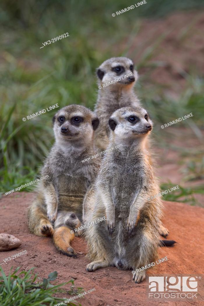 Stock Photo: Meerkat, Suricata suricatta, Three Animals.