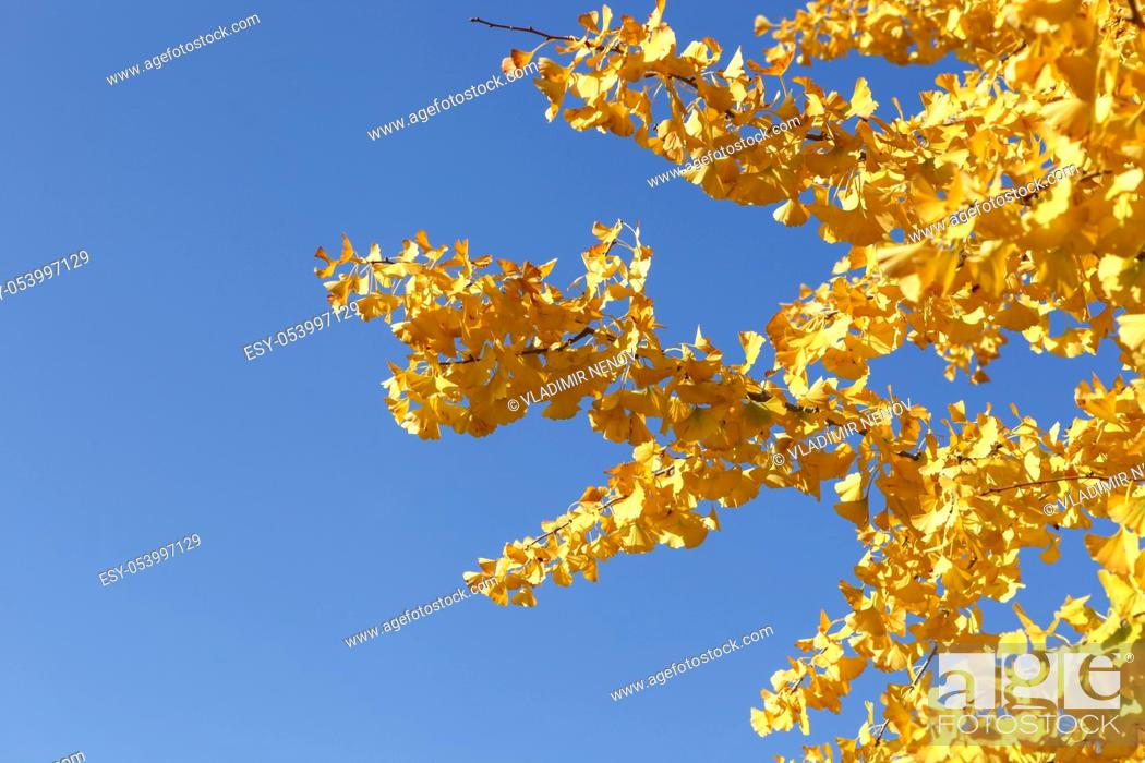 Stock Photo: Close-Up Of Autumn Ginkgo Leaves.