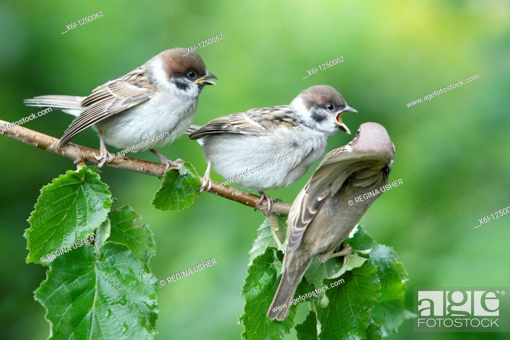 Stock Photo: Tree Sparrow Passer montanus, young birds begging for food from parent, Germany.