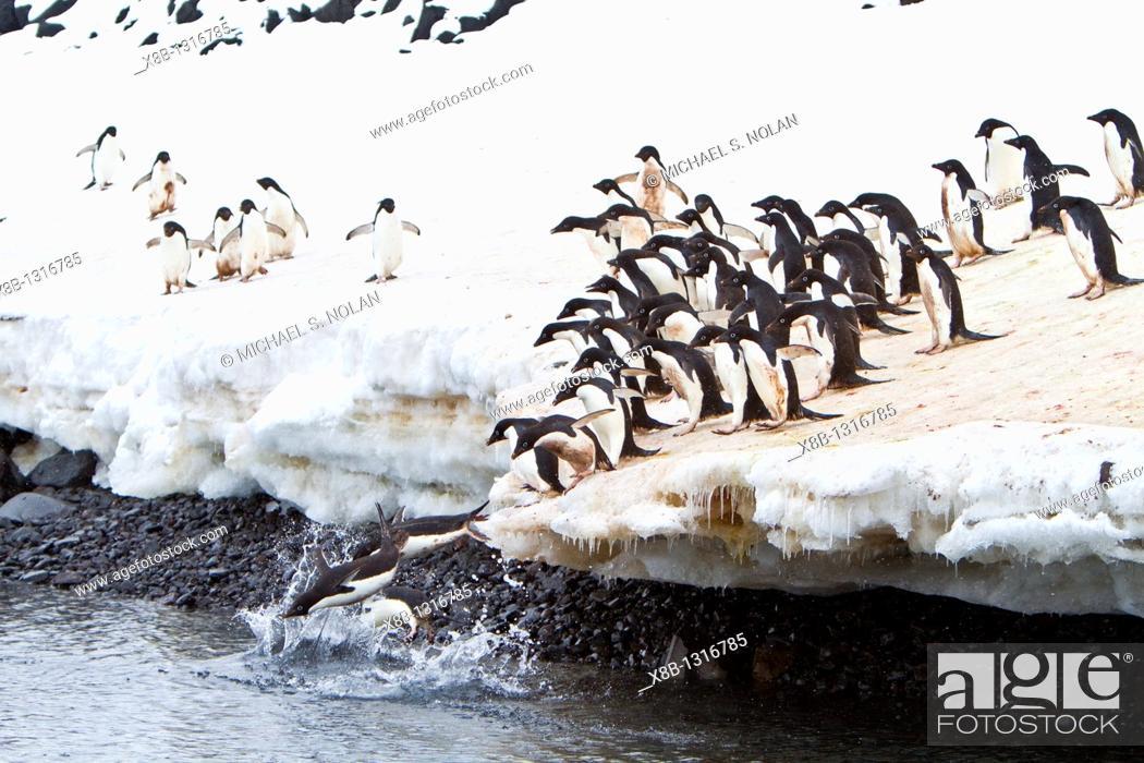 Imagen: Adélie penguin Pygoscelis adeliae leaping off ice to return to sea to feed on Paulet Island near the Antarctic Peninsula.