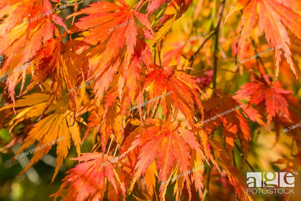Stock Photo: Japanese Maple (Acer palmatum) leaves in autumn colors, Queenswood Herefordshire UK. October 2020.