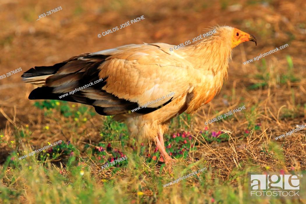 Stock Photo: Egyptian vulture (Neophron percnopterus). Parque Nacional de Monfrague, Extremadura, Spain.