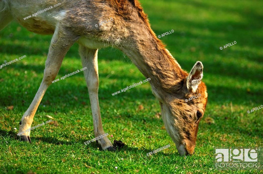 Stock Photo: Browsing female Fallow Deer Dama dama.