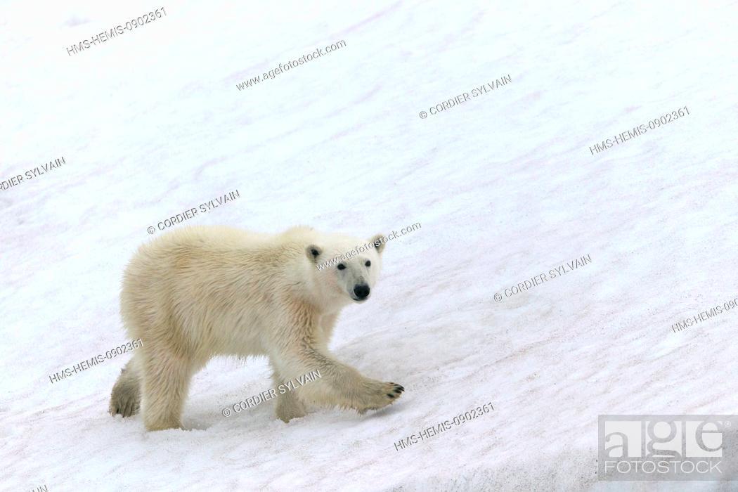 Photo de stock: Norway, Svalbard, Spitsbergern, Polar Bear (Ursus maritimus) on the ground.