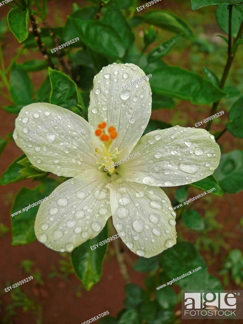 Stock Photo: Hibiscus rosa sinensis, China Rose, Chinese hibiscus, Ratnagiri, Maharashtra, India.