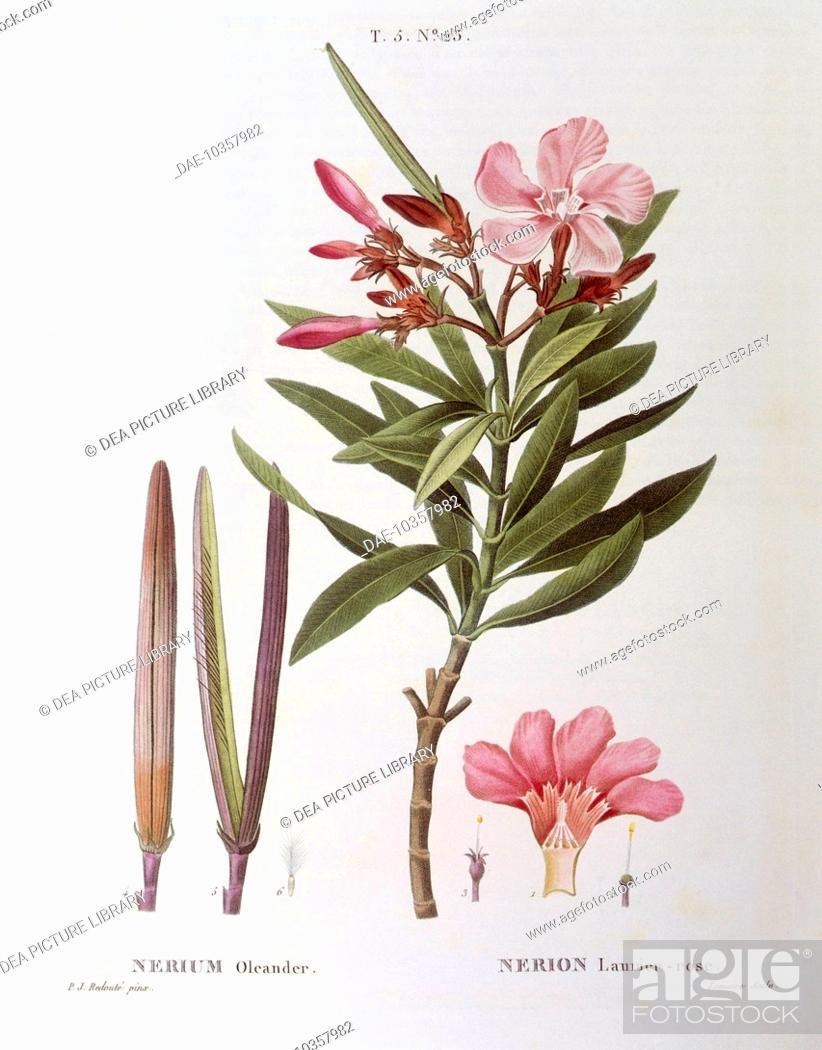 botany apocynaceae oleander nerium oleander henri louis