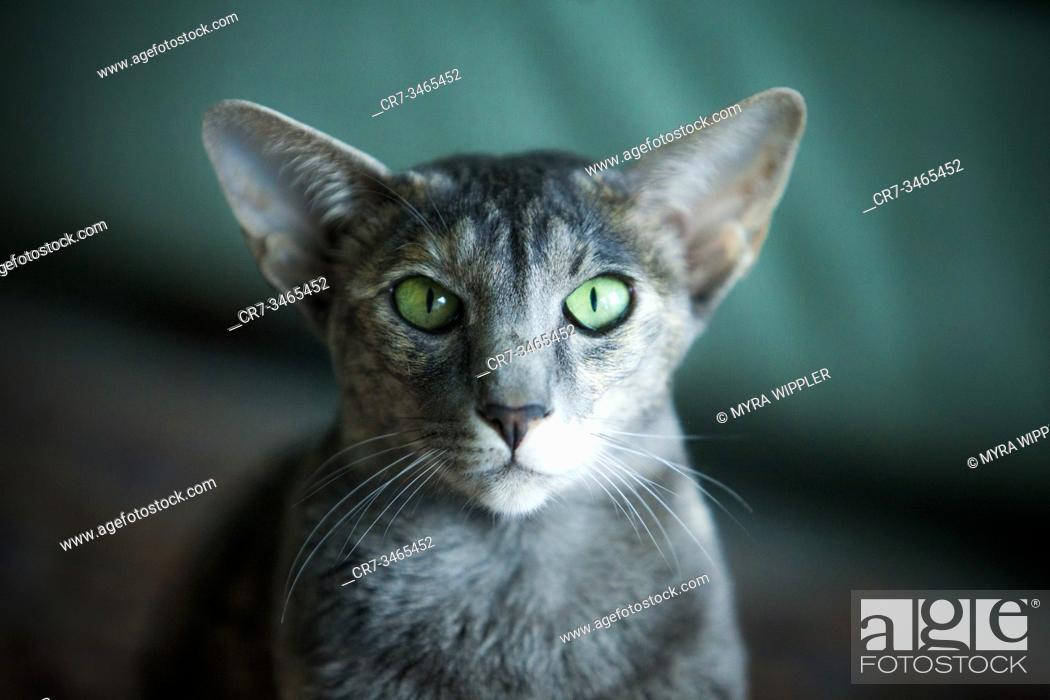 Stock Photo: Elegant siamese looking cat posing indoor.