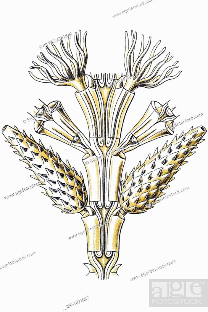 Stock Photo: Historic illustration, tablet 25, title Sertulariae, marine cnidaria, name Diphasia, 7/ Desmoscyphus acanthocarpus, part of a branch, Ernst Haeckel.