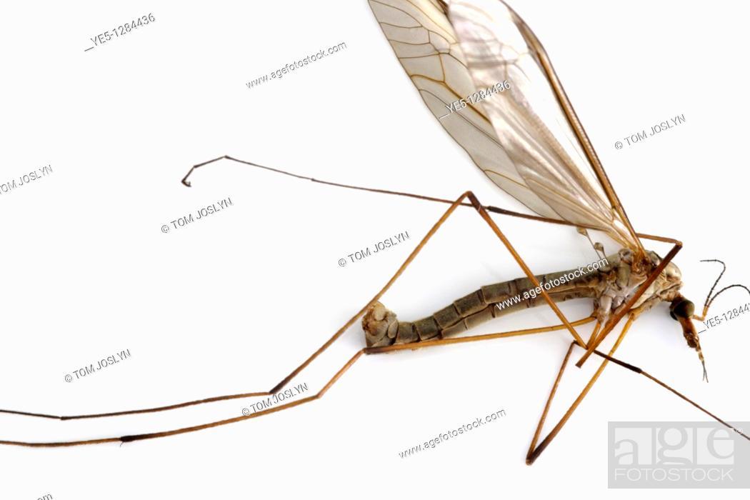 Stock Photo: Dead Cranefly or Daddy long legs Tipula paludosa, England, UK.