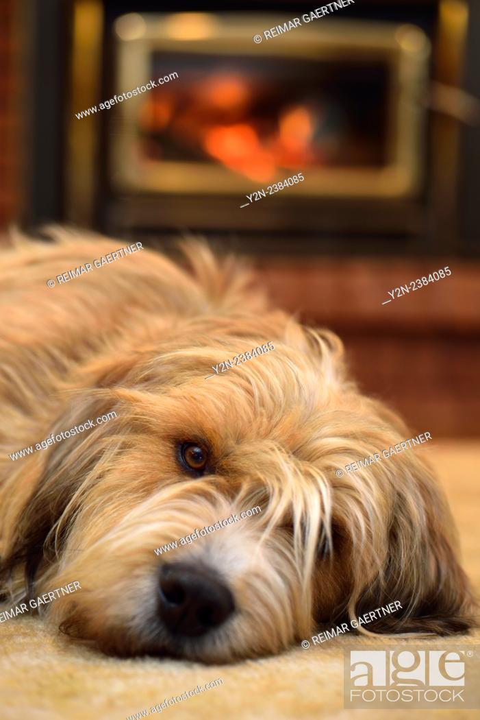 Stock Photo: Scruffy bearded dog lying on carpet by the fireplace.
