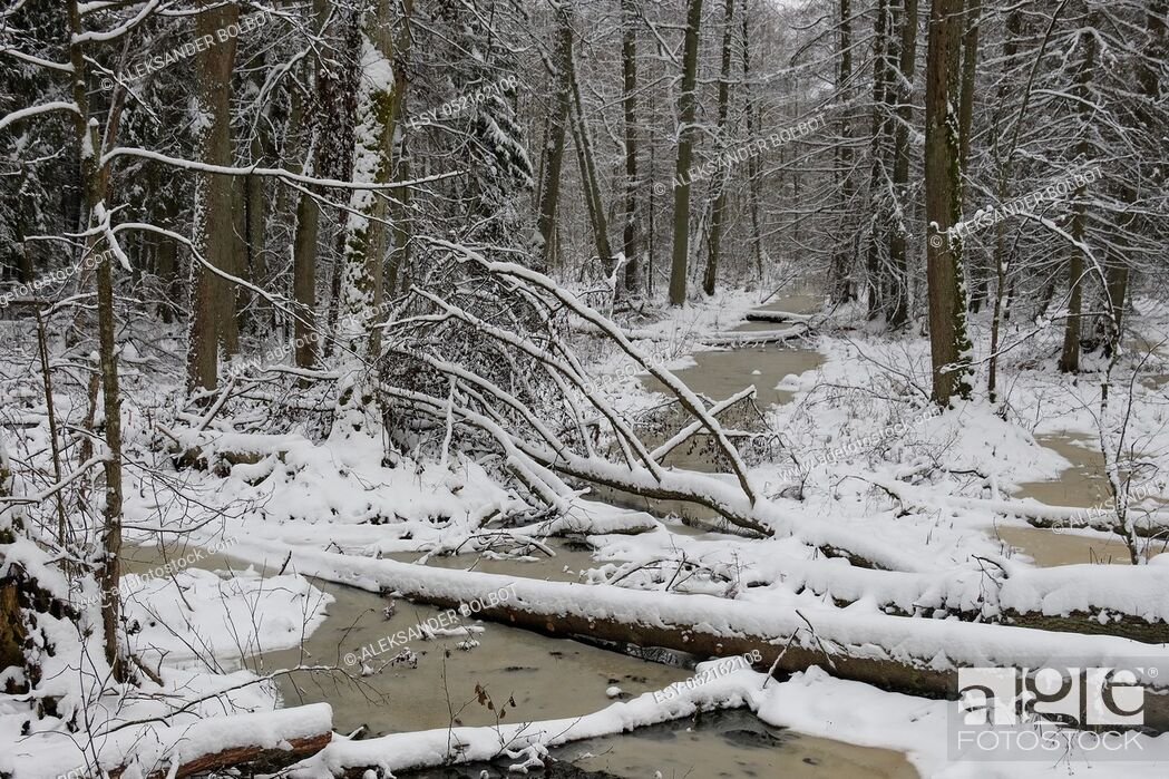 Stock Photo: Frozen small forest river crossing mixed stand, bialowieza Forest, Poland, Europe.