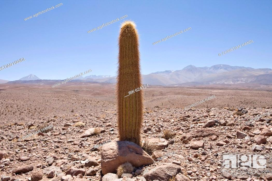 Photo de stock: Giant Cardon Cactus (Echinopsis atacamensis), Valley of the Cacti, Región de Antofagasta, Chile.
