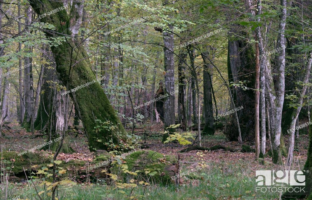 Stock Photo: Broken trees in autumnal natural deciduous forest, Bialowieza Forest, Poland, Europe.