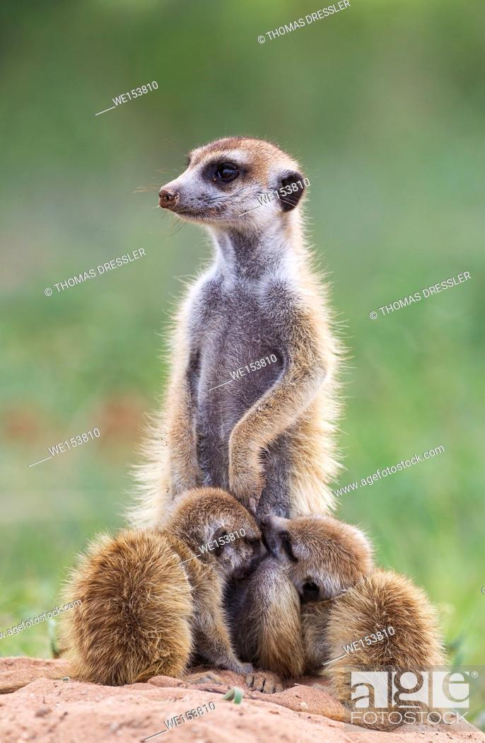 Stock Photo: Suricate (Suricata suricatta). Also called Meerkat. Female with two sucklung young. On the lookout. During the rainy season in green surroundings.
