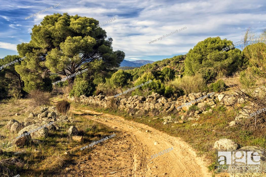 Stock Photo: Road with a stone fence and conifers in the country of Cebreros. Avila. Spain. Europe.