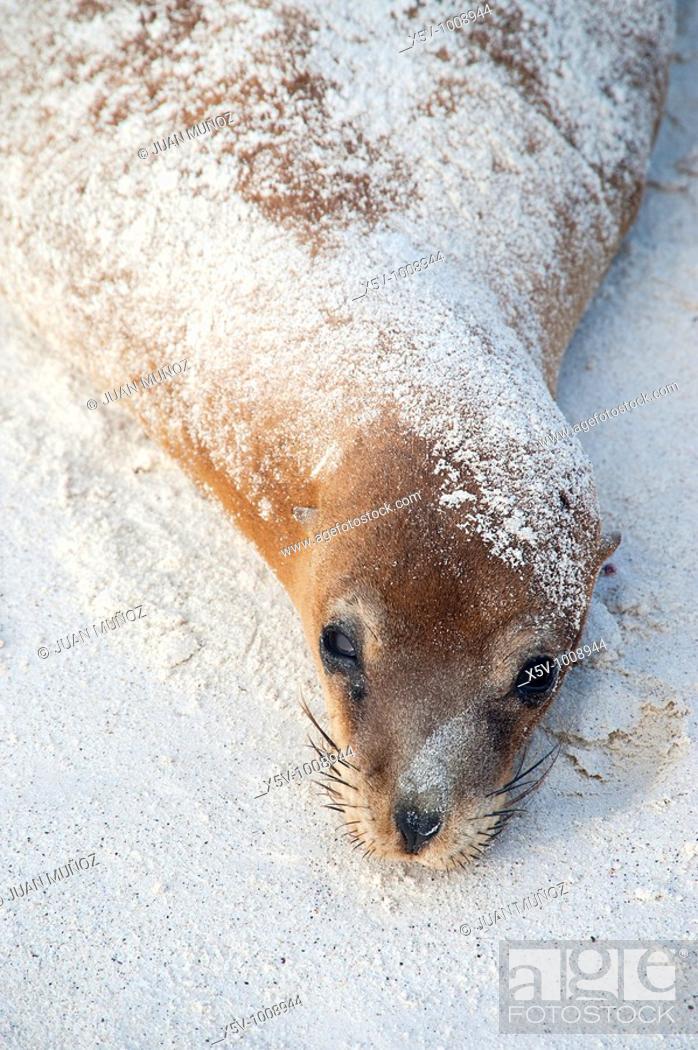 Stock Photo: California female seal resting on the Spanish island. Galapagos Islands. Ecuador.